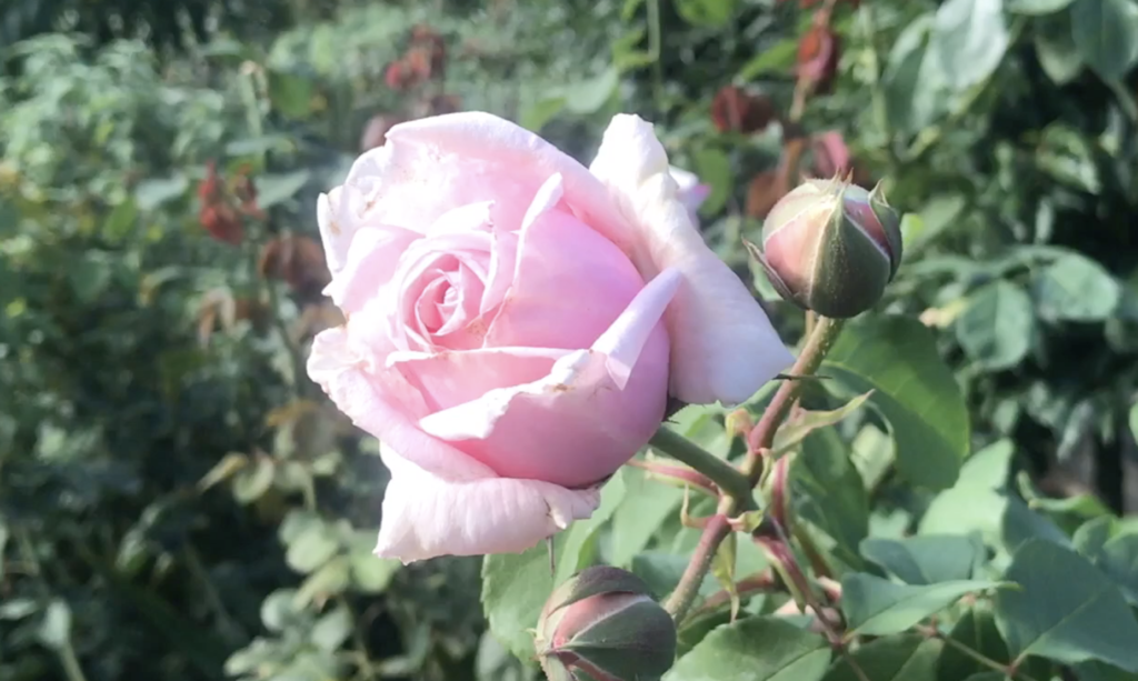 Arty Tales - The rosebud who wanted to travel